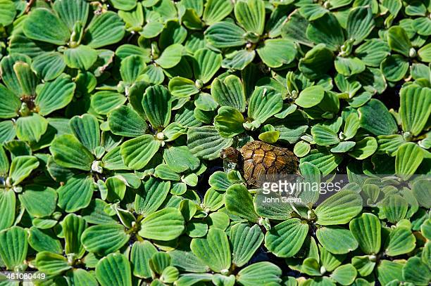 World S Best Water Lettuce Stock Pictures Photos And