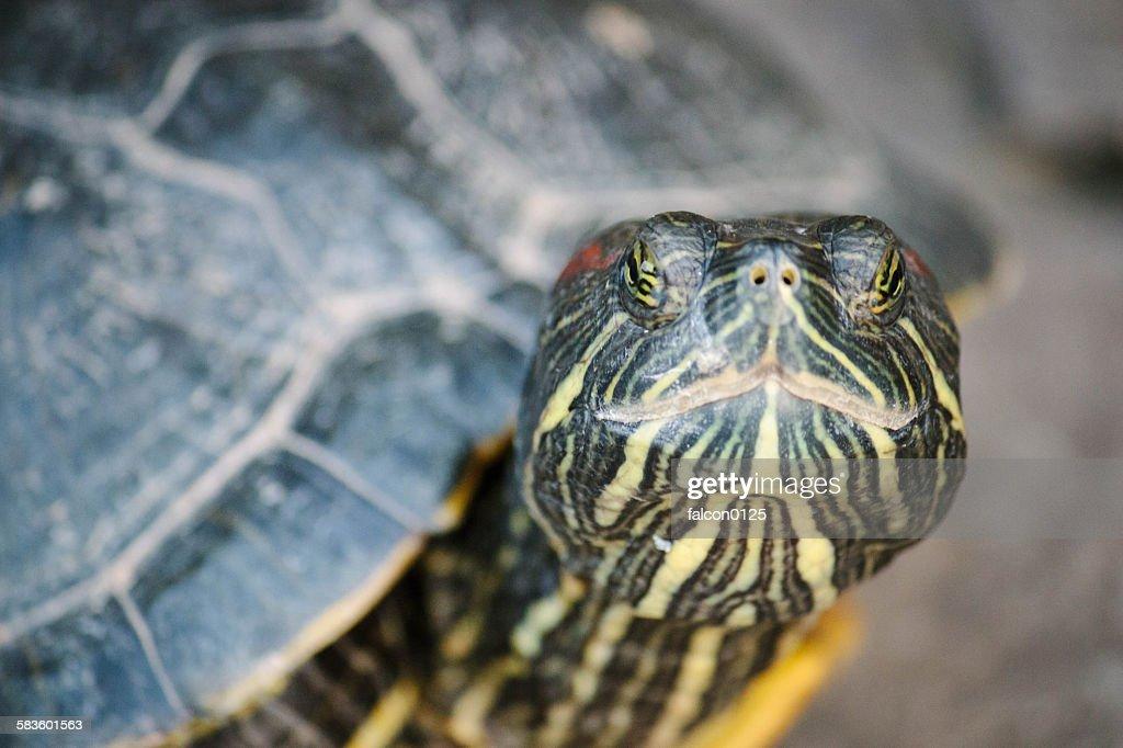 Turtle : Stock Photo