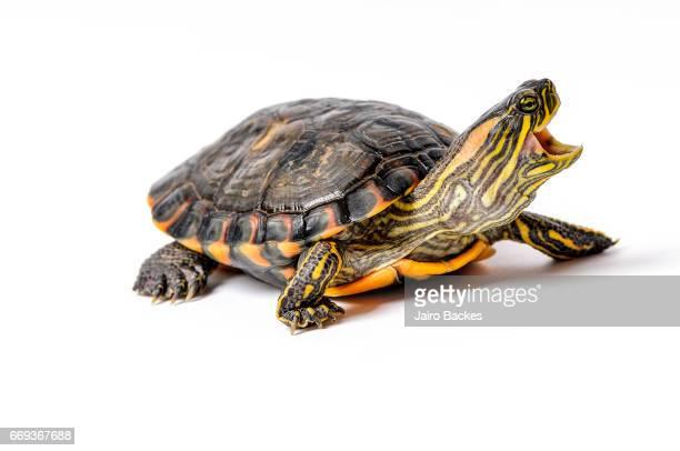 turtle - dermoquélidos fotografías e imágenes de stock