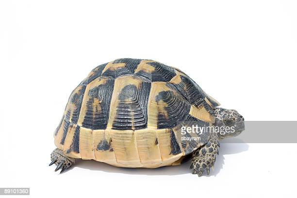 turtle - box turtle stock pictures, royalty-free photos & images