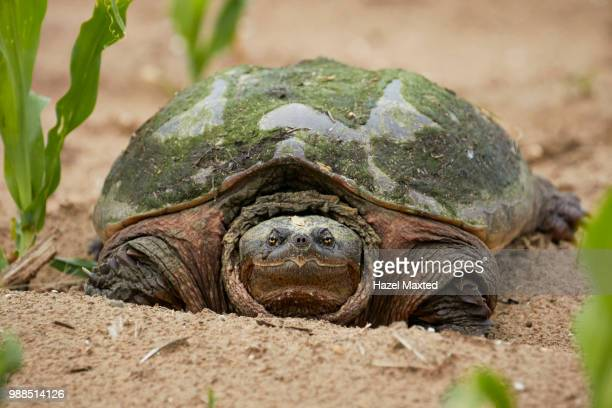 turtle - snapping turtle stock pictures, royalty-free photos & images