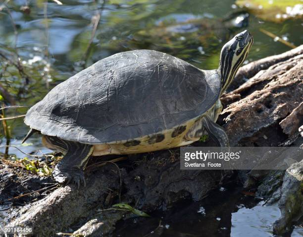 turtle - svetlana stock photos and pictures