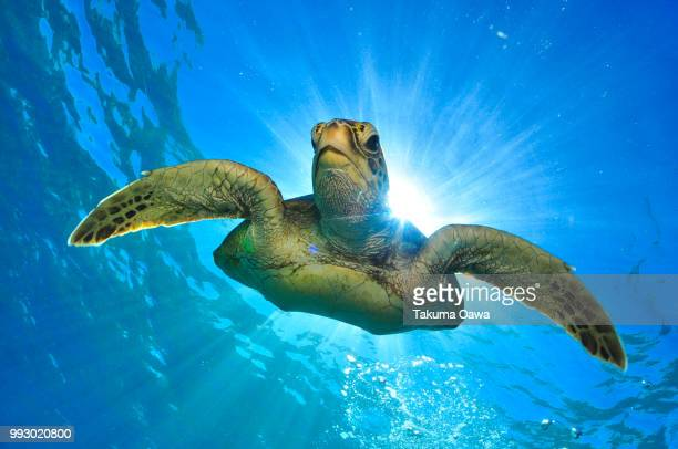 turtle - green turtle stock pictures, royalty-free photos & images