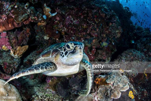 A turtle rests on a ledge on a coral reef, North Sulawesi, Indonesia.