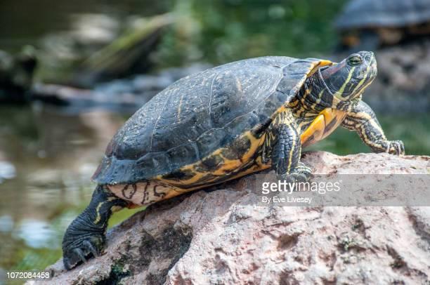 turtle side view - un animal fotografías e imágenes de stock