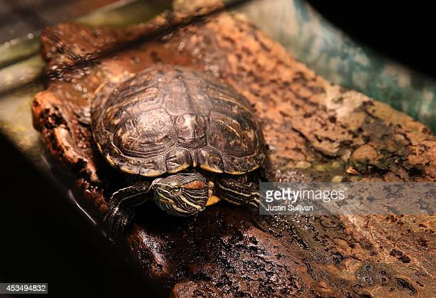 A turtle sits in an aquarium at a pet store on August 11 2014 in San Francisco California San Francisco Bay Area animal shelters and humane society...