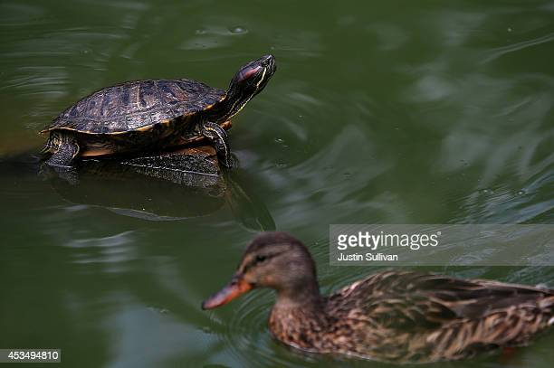 A turtle sits on a rock at Stow Lake on August 11 2014 in San Francisco California San Francisco Bay Area animal shelters and humane society leaders...