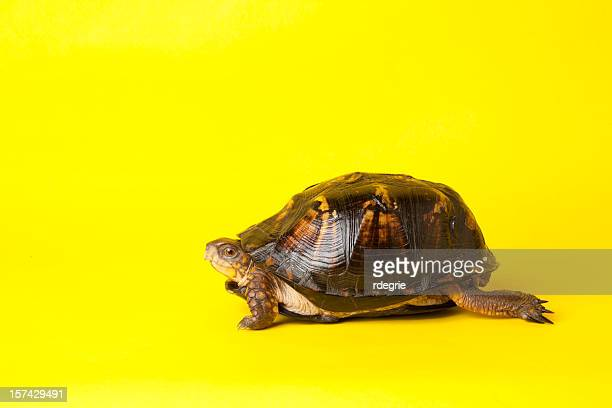 turtle starting a race - box turtle stock pictures, royalty-free photos & images