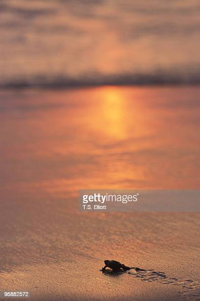 turtle sunset beach - ixtapa zihuatanejo fotografías e imágenes de stock