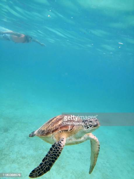 turtle swimming in sea - tortue photos et images de collection