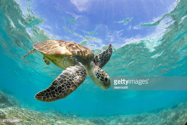 turtle swimming over a coral reef, great barrier reef, queensland, australia - great barrier reef stock pictures, royalty-free photos & images