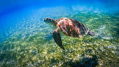 Turtle swimming over coral reef, Gili Islands near Gili Trawangan, Indonesia
