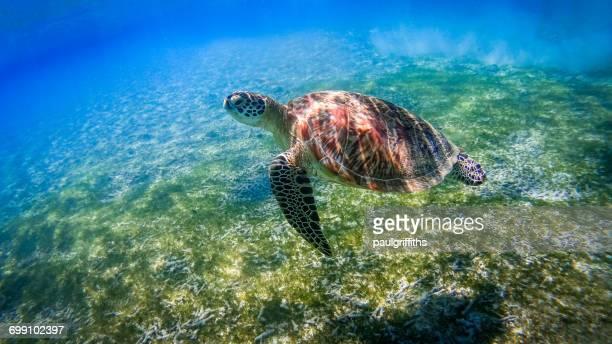 Turtle swimming over coral reef, Gili Islands near Gili Trawangan, Indonesia