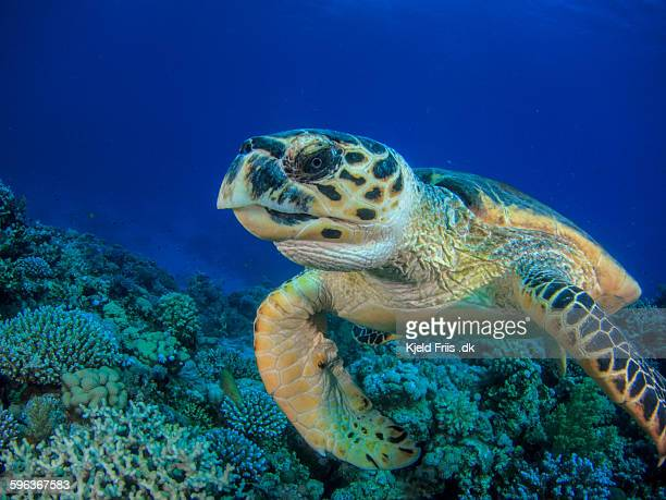 turtle swimming over coral reef - hawksbill turtle stock pictures, royalty-free photos & images