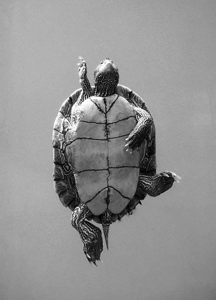 Turtle swimming overhead