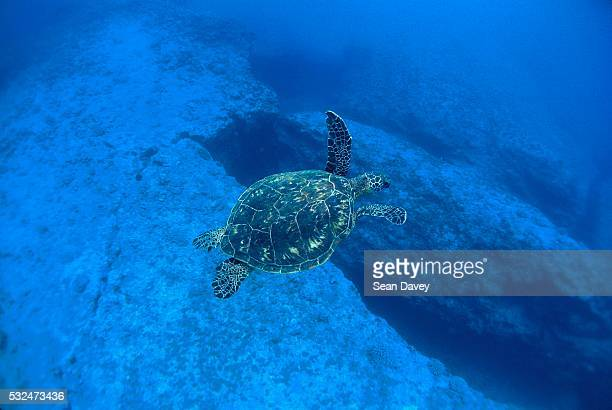 turtle swimming the banzai pipeline off oahu - waimea bay stock pictures, royalty-free photos & images