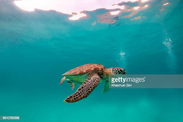 turtle swimming under the blue sea - tortue photos et images de collection