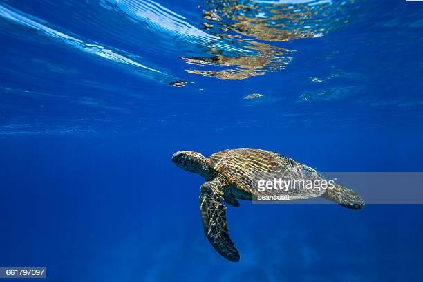 Turtle swimming underwater, Great Barrier Reef, Queensland, Australia