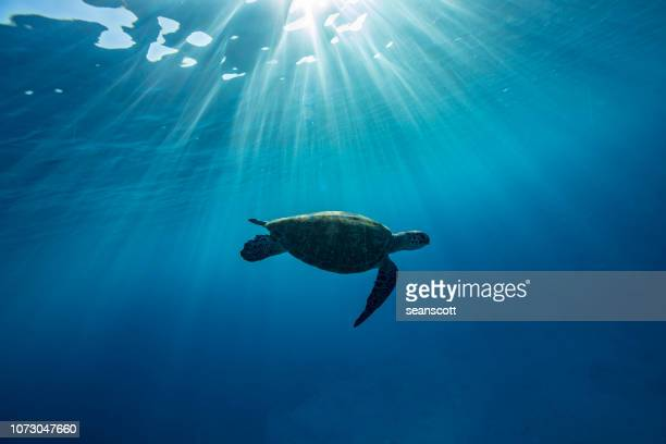 turtle swimming underwater, lady elliot island, great barrier reef, queensland, australia - great barrier reef stock pictures, royalty-free photos & images