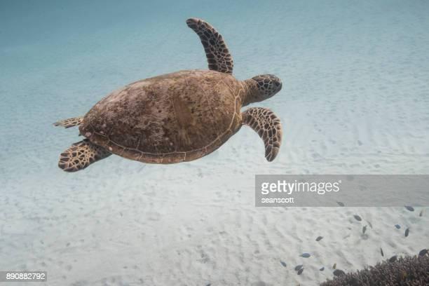 Turtle swimming underwater, Lady Elliot Island, Queensland, Australia