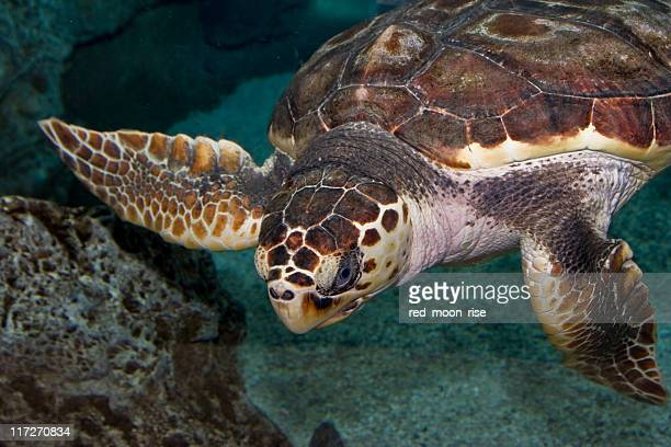 turtle swimming underwater - leatherback turtle stock pictures, royalty-free photos & images