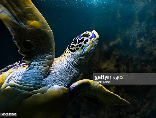 turtle swimming underwater - sea life stock pictures, royalty-free photos & images