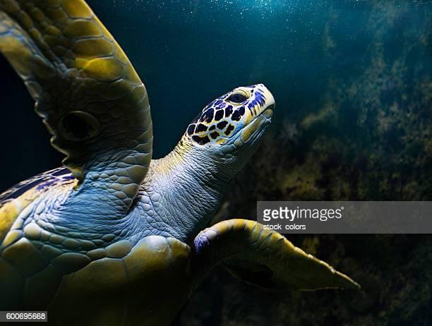 turtle swimming underwater - vida marítima fotografías e imágenes de stock