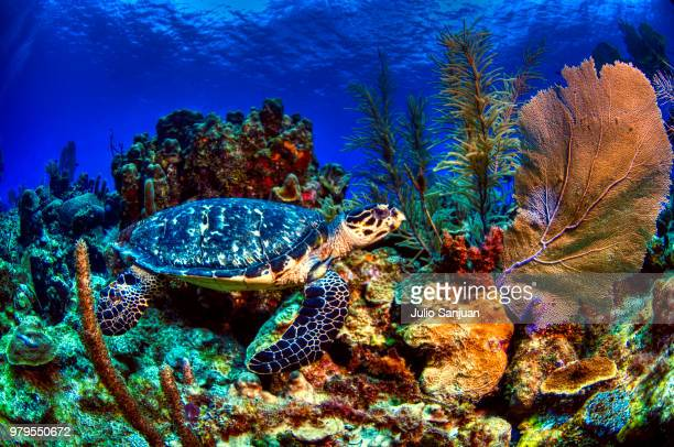 Turtle swimming underwater, Roatan, Honduras