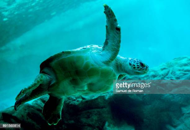 A turtle swims next EcoVidrio solidary Christmas nativity figures in the aquarium at the zoo in Madrid on December 13 2017 in Madrid Spain