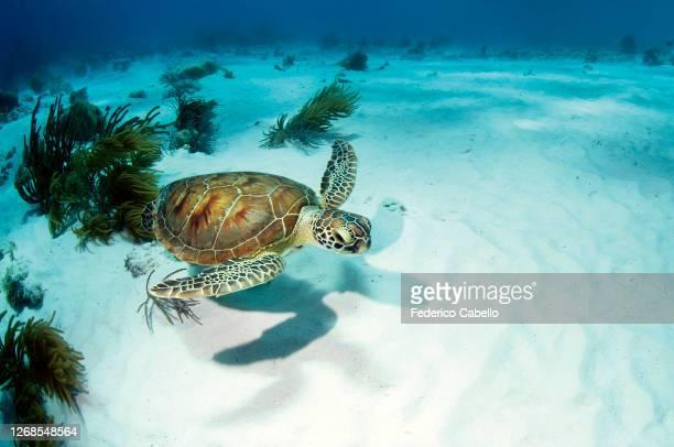 turtle swims on the white sand. bonaire reef - ボネール島 ストックフォトと画像
