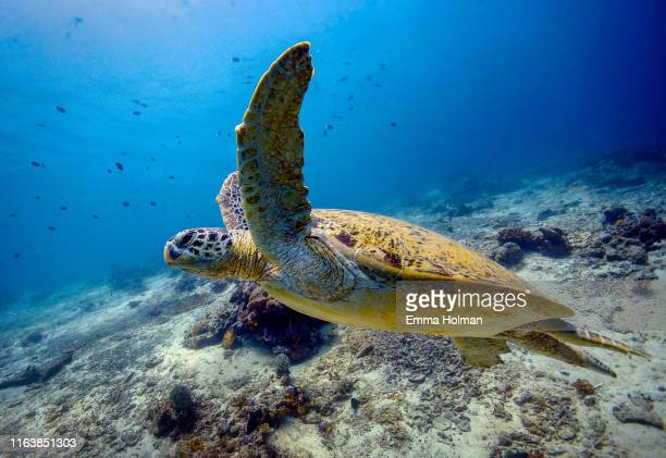 turtle take-off from reef - green turtle stock pictures, royalty-free photos & images