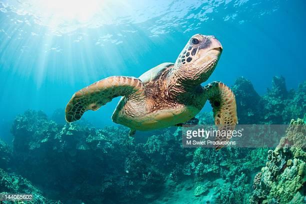 turtle undrwater - tortue photos et images de collection