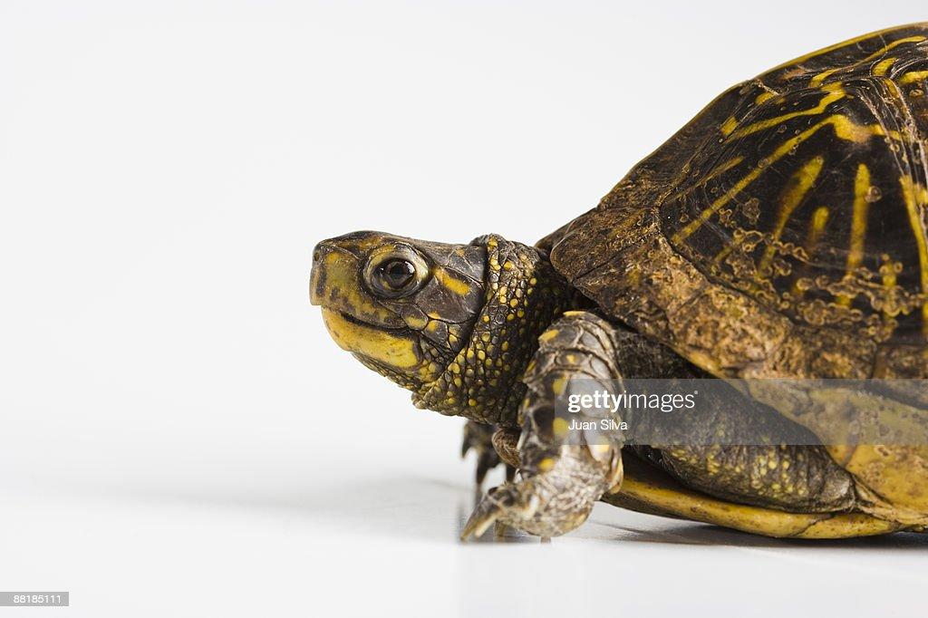 Turtle walking on reflective white background : Stock Photo