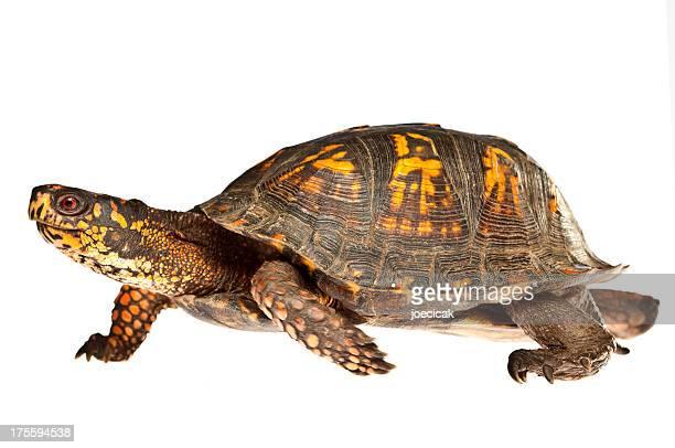 Turtle Walking on White