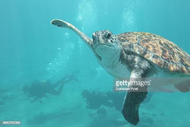 Turtle waving fin underwater, scuba divers behind