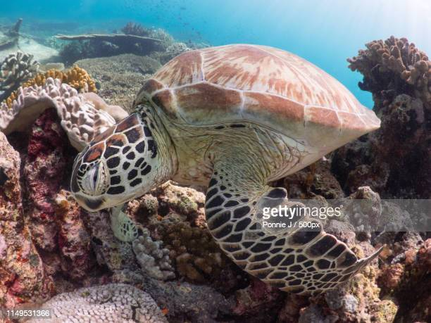 turtle with coral reefs - ponnie stock pictures, royalty-free photos & images