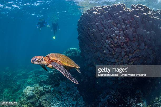 Turtle with two snorklers silhouetted in background