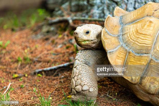 turtle zoo animal on sunny summer day - snapping turtle stock pictures, royalty-free photos & images