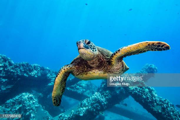turtle8mar27-18 - lahaina stock pictures, royalty-free photos & images