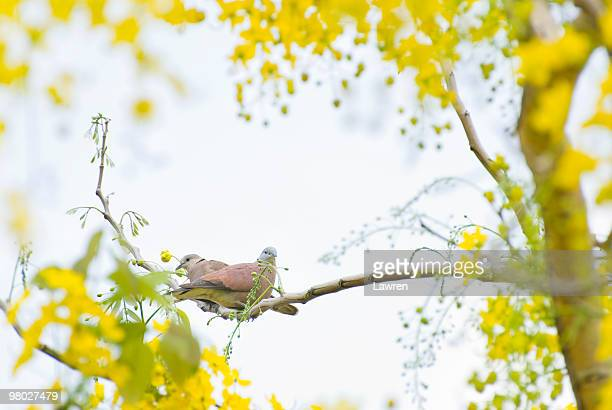 turtledove couple and yellow flowers - turtle doves stock photos and pictures