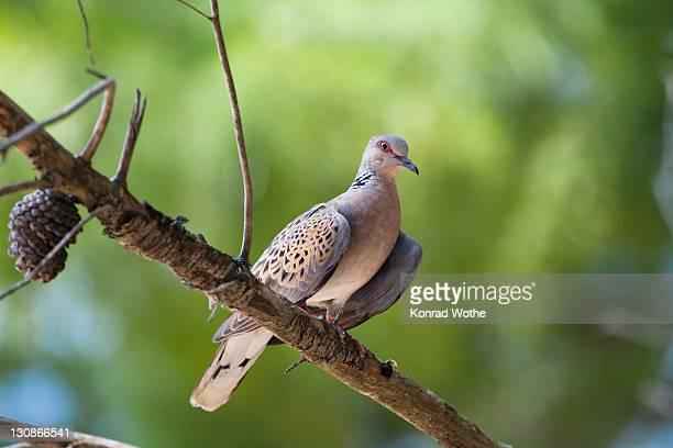 turtle-dove (streptopelia turtur), croatia - turtle doves stock photos and pictures