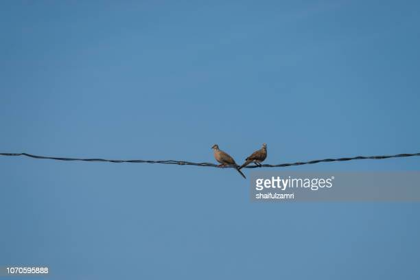 turtledoves perching on wire over blue sky at rural area of malaysia - shaifulzamri stock pictures, royalty-free photos & images