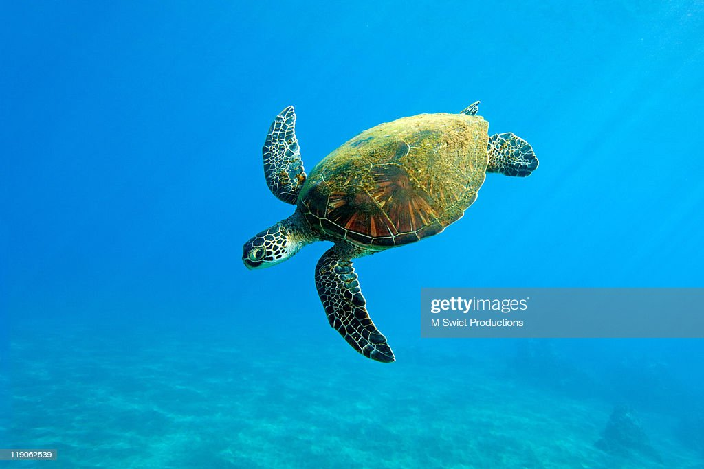 Turtle-Hawaii : Stock Photo