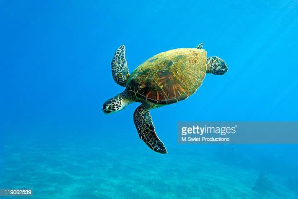 turtle-hawaii - green turtle stock photos and pictures