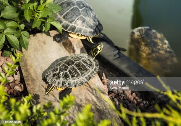 turtles and domestic pond - 爬虫類 ストックフォトと画像