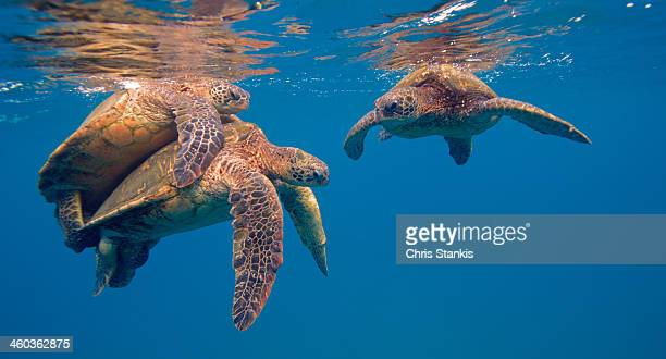 turtles don't care who watches - green turtle stock pictures, royalty-free photos & images
