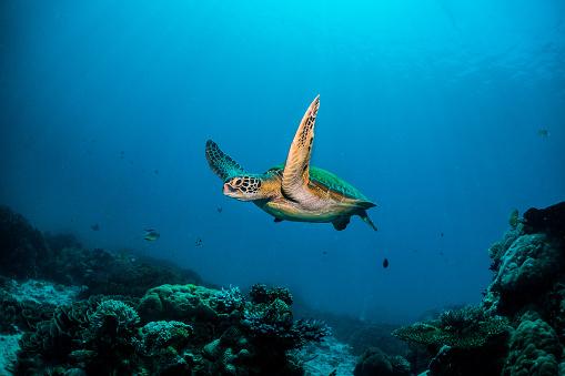 Turtles of Indonesia 1077092686