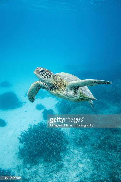 turtles of the great barrier reef - great barrier reef stock pictures, royalty-free photos & images