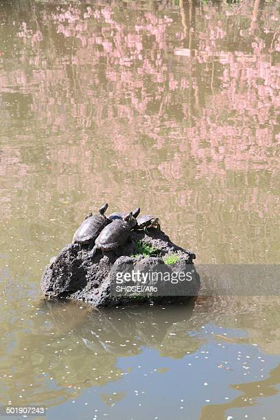 turtles on a rock - mishima city stock photos and pictures