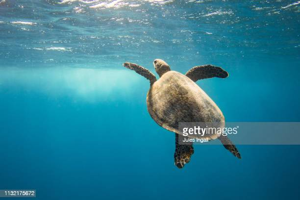 turtles - queensland stock pictures, royalty-free photos & images